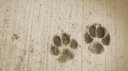 Koiran tassun jäljet