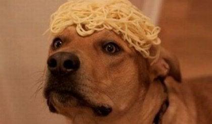 Koiran päässä spagettia