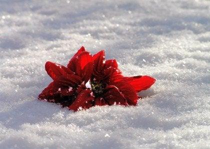 Kukka lumessa ja romanttinen rakkaus