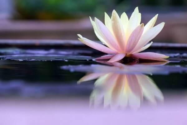 Lotuskukka