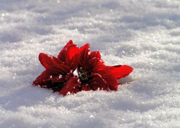 Kukat lumessa