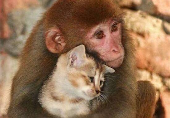 Apina ja kissa