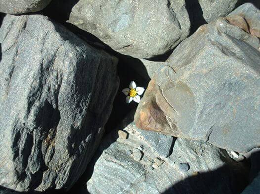 kukka ja kallio