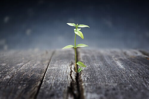 puu kasvaa laudanraosta