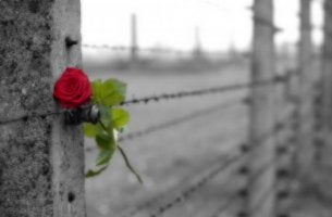 Ruusu rautalanka-aidassa