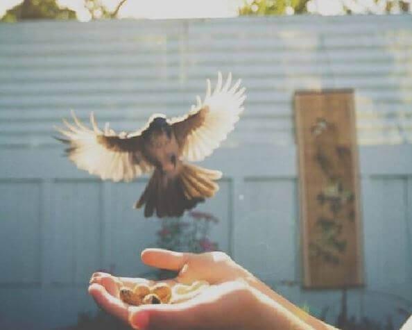 lintu ottaa kädeltä ruokaa