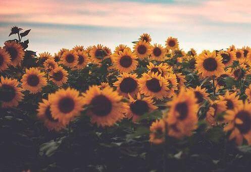 auringonkukkameri