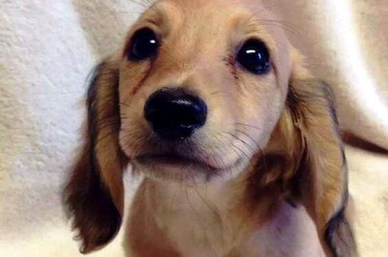 suloinen koiranpentu