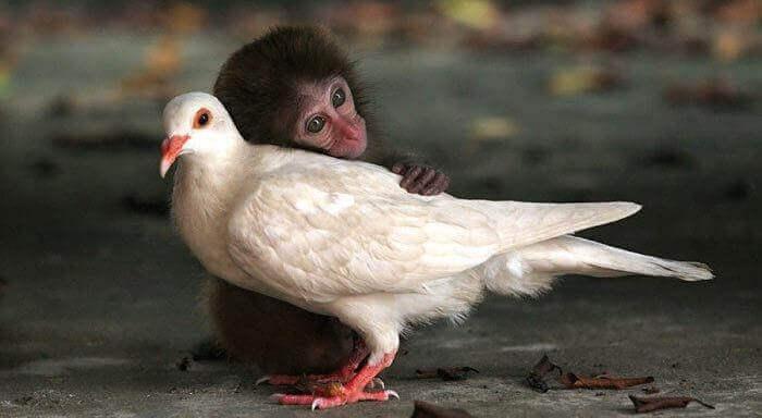 Apina halaa kyyhkystä