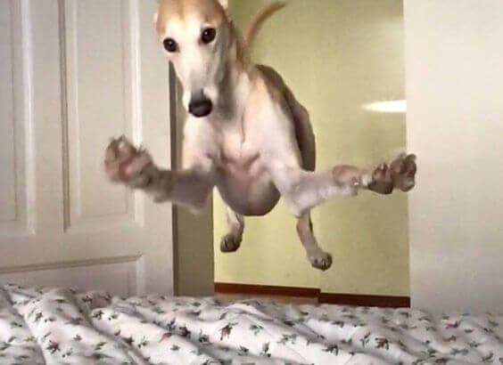 Sänkyyn loikkaava koira