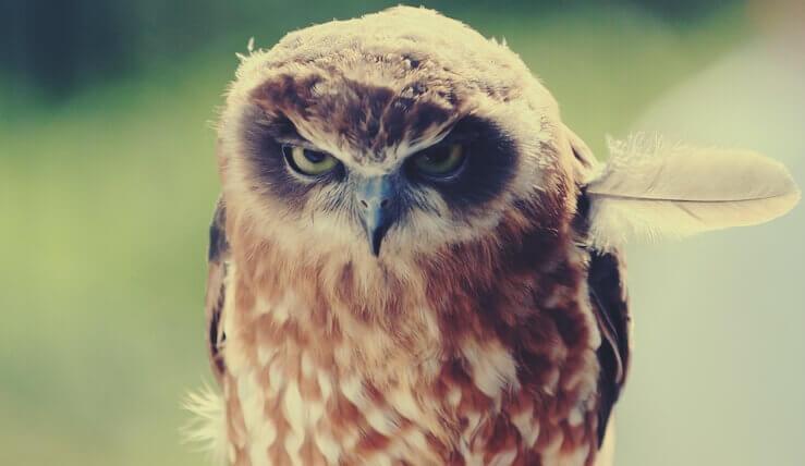 vihainen pöllö yksi sulka vinossa