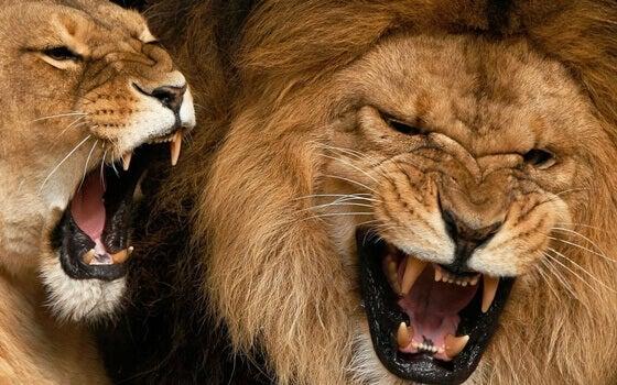 leijonat karjuvat
