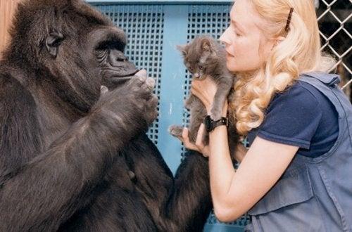 Maailman älykkäimmän gorillan Kokon suloinen tarina