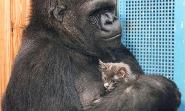gorilla Koko ja All Ball