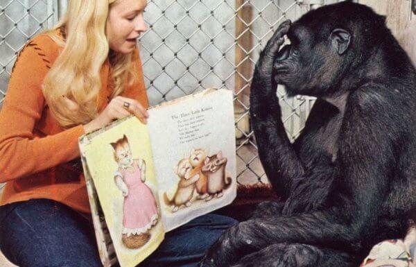 Patterson lukee kirjaa gorilla Kokolle