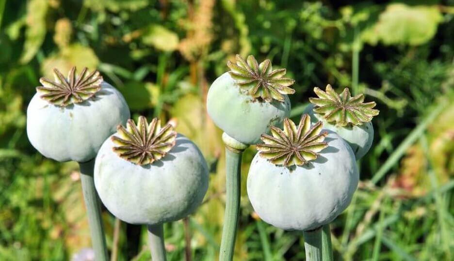 opioidit tulevat tästä kasvista