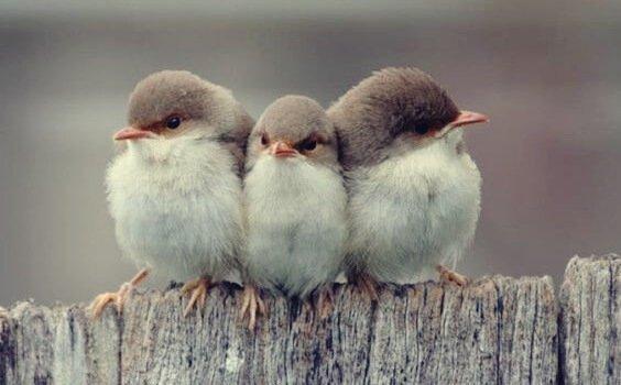 kolme lintua vieri vieressä