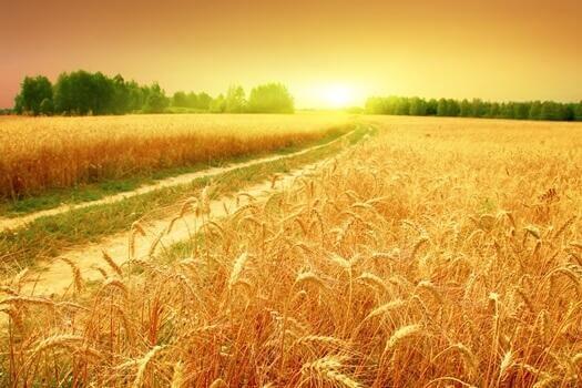 viljapelto kylpee auringonvalossa