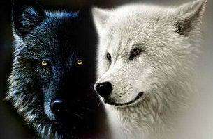 musta ja valkoinen susi