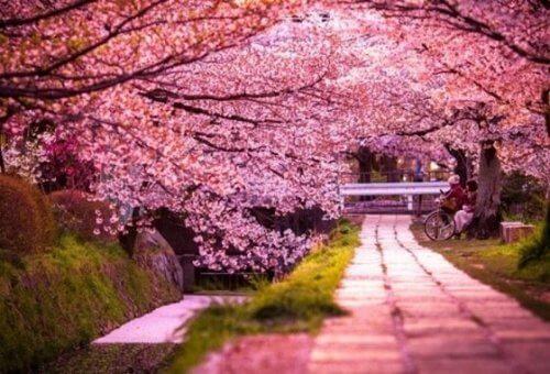 kauniit kirsikkapuut kukkivat