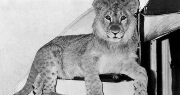 christian-leijona pienenä