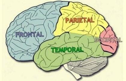 Aivojen lohkot: ominaisuudet ja toiminnot