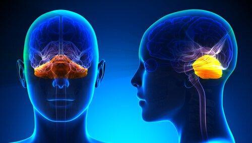 ataksia vaikuttaa aivoissa