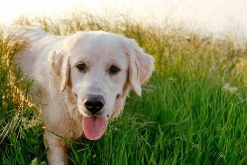 kultainen labradorinnoutaja