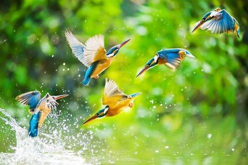 kolibrit leikkivät