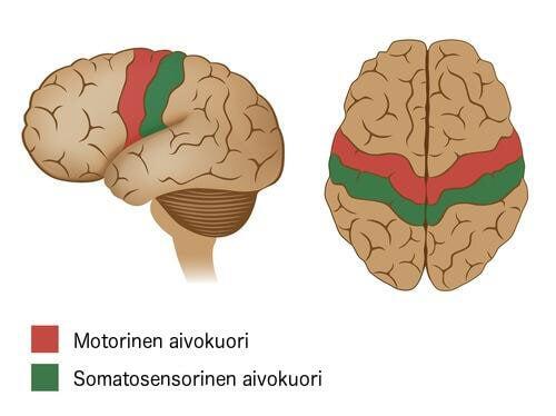 motorinen aivokuori ja somatosensorinen aivokuori