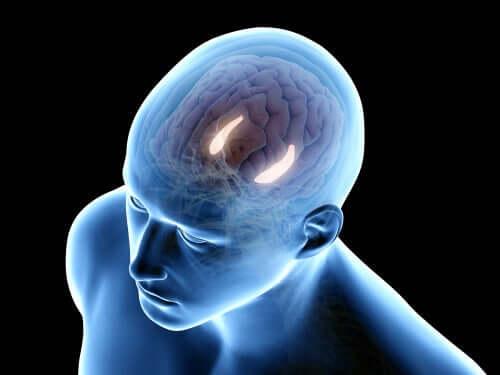 Hippocampalin toiminnot toimivat yhteistyössä monien muiden aivokuoren osien kanssa
