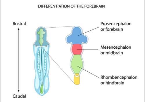 Ruutuaivojen rakenne auttaa avaamaan sen toimintojen tärkeyttä aivojen kehityksen kannalta