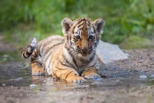 hyväksymis- ja omistautumisterapian vertauskuva tiikeristä