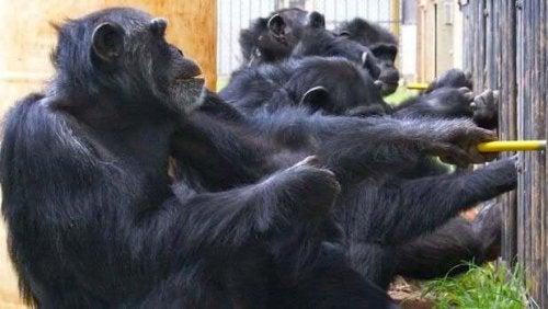 Mielen teoria ei rajoitu pelkästään ihmisiin, sillä myös eläimet, kuten simpanssit, kykenevät ennakoimaan toisten yksilöiden toimintaa