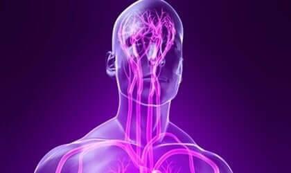 Somaattinen hermosto ihmisessä.