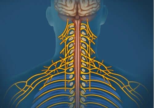 Somaattinen hermosto: ominaisuudet ja toiminnot