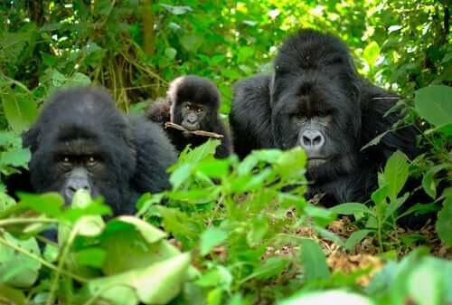 Gorillat ovat kehittäneet erilaisia käyttäytymismalleja, jotka voidaan luokitella niiden tavaksi jättää hyvästit edesmenneille lajitovereilleen