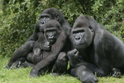Gorillojen hautajaisriitit osoittavat, että nämä eläimet omaavat suuren älykkyyden ja tunnemaailman, joka muistuttaa suuresti ihmisiä