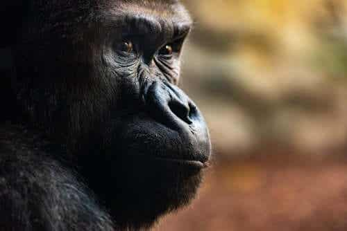 Gorillojen hautajaisriitit: kolme vaikuttavaa rituaalia