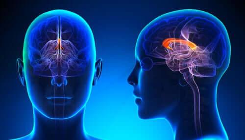 Toiminnallisten kuvien avulla tehdyssä tutkimuksessa on havaittu, että vasenkätisen ihmisen aivokurkiaisen koko on oikeakätistä suurempi