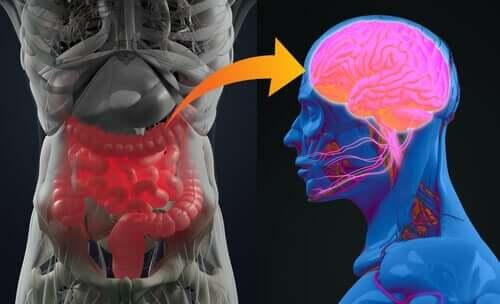 Suolistolla on omat hermostopiirit, mutta se kommunikoi aivojen kanssa sympaattisten ja parasympaattisten järjestelmien kautta