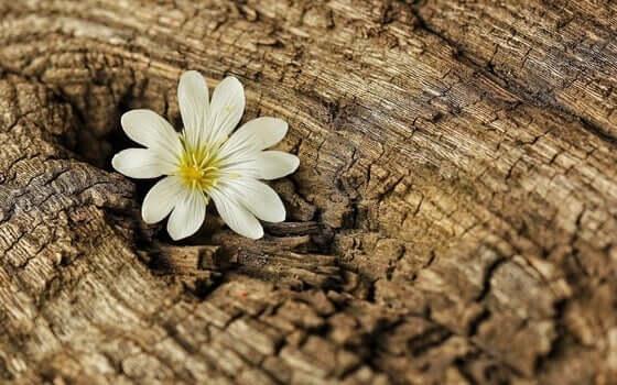 Sinnikkyyden soveltaminen koronaviruskriisin keskellä: kukka työntyy kannon sisältä.