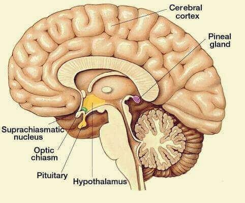 Aivolisäke ja käpyrauhanen säätelevät suurta osaa ihmiskehon hormonaalisista prosesseista