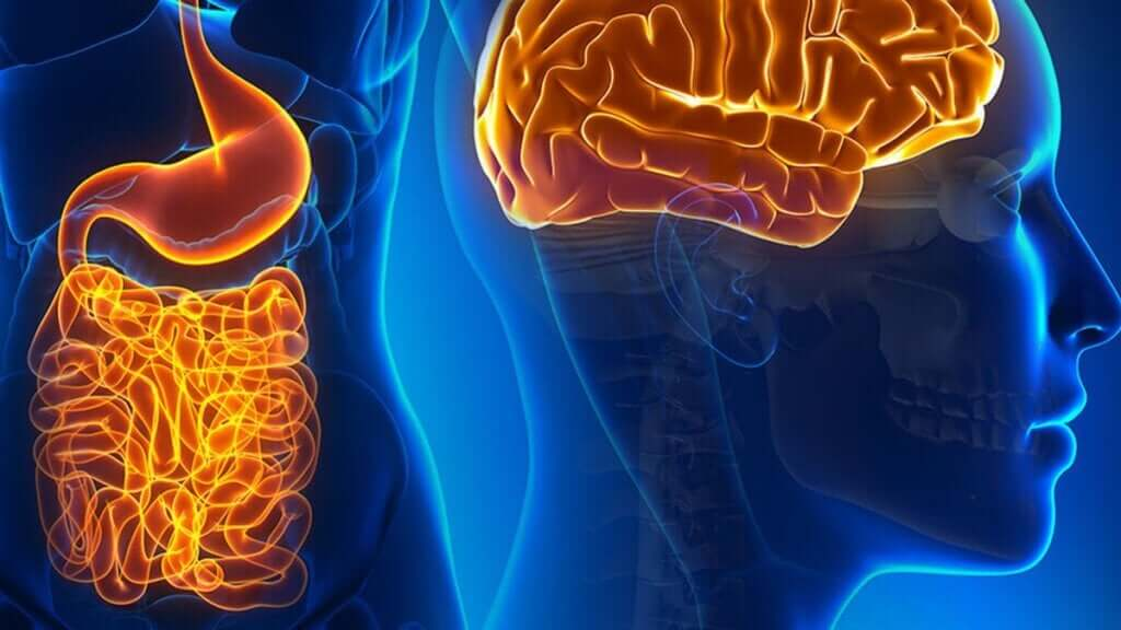 Suoliston neuronit: miten ne liittyvät aivoihin?