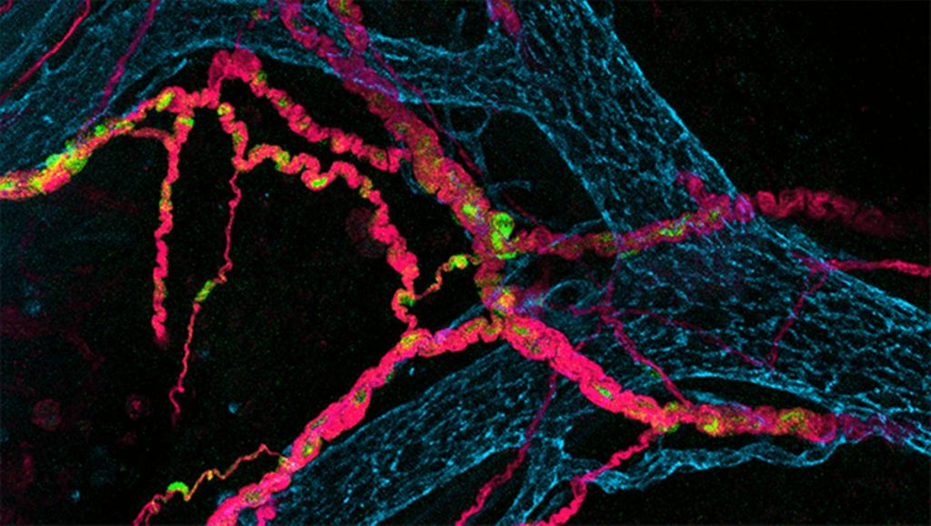 Suoliston neuronit yhdessä mikrobioman kanssa toimivat avaintekijänä suojaamassa meitä monilta eri sairauksilta
