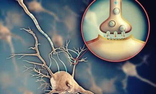 Asetyylikoliini: hermosolujen keskinäistä viestintää edistävä välittäjäaine